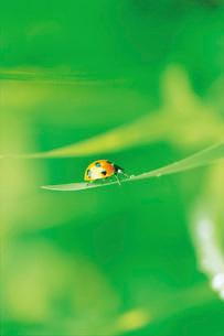 草にとまるテントウムシの写真素材 [FYI02029435]