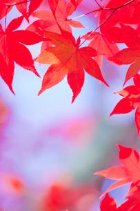 紅葉の写真素材 [FYI02030337]
