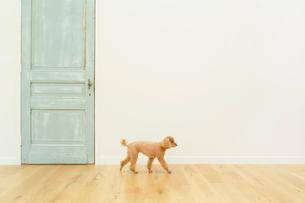 犬とリビングルームの合成向け背景素材の写真素材 [FYI02030794]