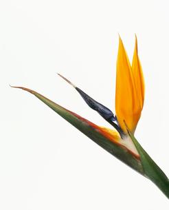 ストレリチアの写真素材 [FYI02032093]