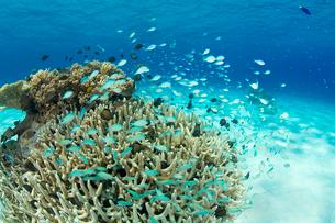慶良間諸島のサンゴ礁と熱帯魚の写真素材 [FYI02033370]