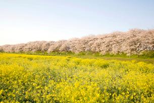権現堂桜と菜の花畑の写真素材 [FYI02033443]