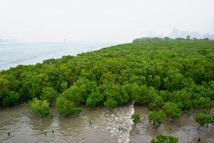 淡水のマングローブの写真素材 [FYI02038133]