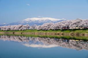 白石川堤の桜並木の写真素材 [FYI02038151]