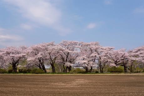 北上展勝地の桜並木の写真素材 [FYI02039040]