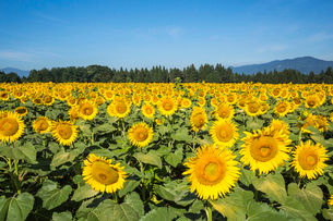 満開のひまわりの花の写真素材 [FYI02039689]