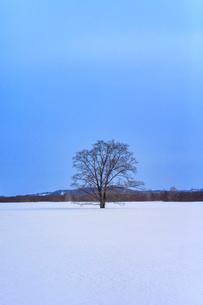 冬のはるにれの木の写真素材 [FYI02040246]
