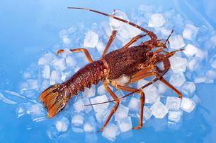氷の上のロブスターの写真素材 [FYI02040768]