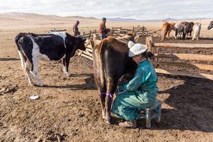 牛の乳を搾る女性の写真素材 [FYI02042317]