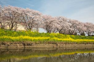 桜の花と菜の花の写真素材 [FYI02042383]