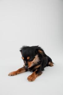 ミックス犬 黒色のチワックスの写真素材 [FYI02042918]