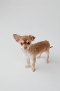 ミックス犬 茶色のチワックスの写真素材 [FYI02043243]