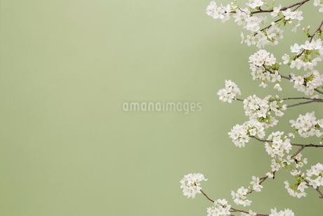 桜イメージ グリーンの写真素材 [FYI02043374]