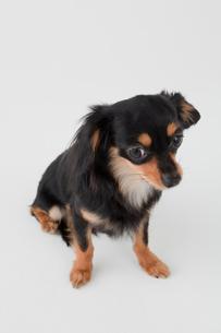 ミックス犬 黒色のチワックスの写真素材 [FYI02043491]