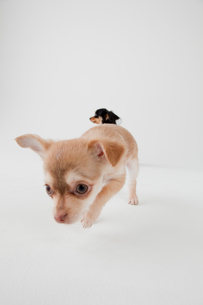ミックス犬 2匹のチワックスの写真素材 [FYI02044076]