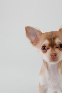 ミックス犬 茶色のチワックスの写真素材 [FYI02044127]