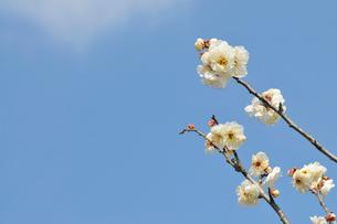 白梅の写真素材 [FYI02044724]
