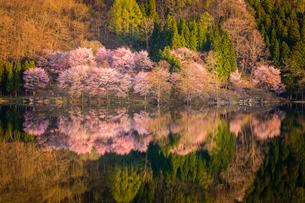 中綱湖 仁科三湖 サクラ オオヤマザクラの写真素材 [FYI02044963]