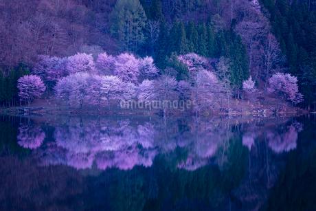 中綱湖 仁科三湖 サクラ オオヤマザクラの写真素材 [FYI02045905]