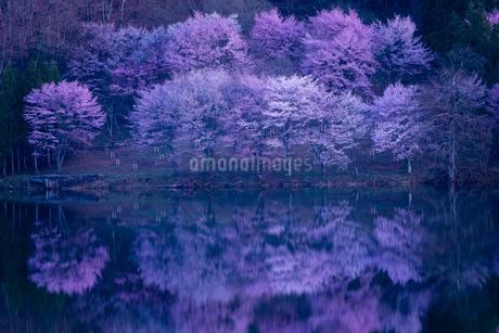 中綱湖 仁科三湖 サクラ オオヤマザクラの写真素材 [FYI02046030]