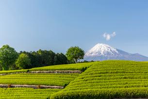 富士山と茶畑の写真素材 [FYI02046104]