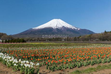 富士山とチューリップの花の写真素材 [FYI02046516]