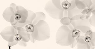 フラワーレントゲン写真 コチョウランの写真素材 [FYI02047014]
