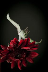 赤いヒマワリ ブラッドレッドの写真素材 [FYI02048040]