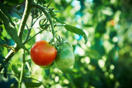 トマトの写真素材 [FYI02048719]
