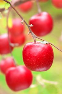 りんごの写真素材 [FYI02049039]