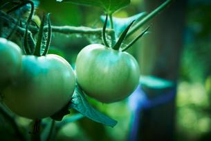 トマトの写真素材 [FYI02049200]