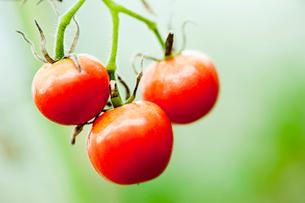 トマトの写真素材 [FYI02049254]
