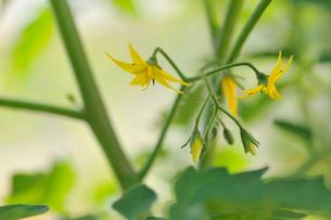 ミニトマトの花の写真素材 [FYI02049475]