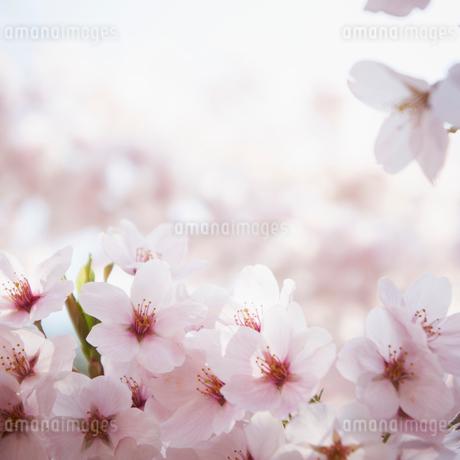 桜の写真素材 [FYI02049684]