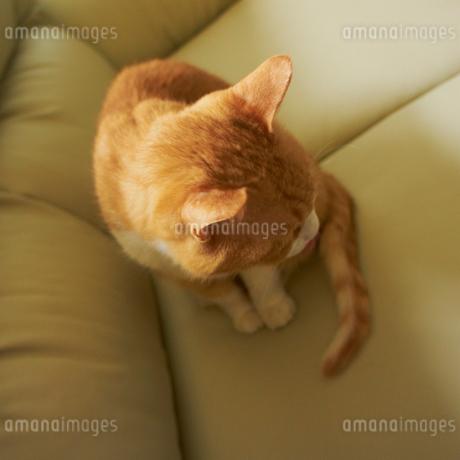 ソファの上に座るネコの写真素材 [FYI02050148]