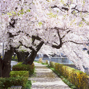 桜咲く道の写真素材 [FYI02050697]