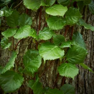 木の幹と蔓植物の葉の写真素材 [FYI02050785]