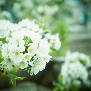 サクランボの花の写真素材 [FYI02051202]