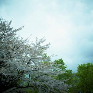 桜の写真素材 [FYI02051483]