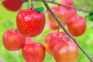 りんごの写真素材 [FYI02051539]
