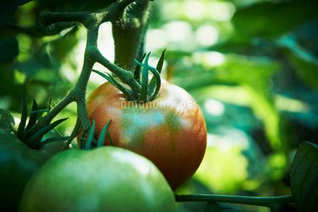 トマトの写真素材 [FYI02051701]