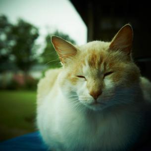 目を閉じるネコの写真素材 [FYI02051847]