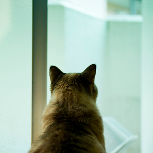 窓の外を見るネコの写真素材 [FYI02051879]