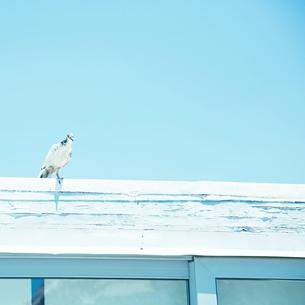 屋根に止まる鳥の写真素材 [FYI02051883]