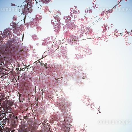 桜の写真素材 [FYI02051920]