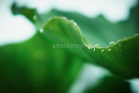 サトイモの葉と水滴の写真素材 [FYI02051922]