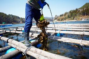 牡蠣の養殖 宮城県の写真素材 [FYI02052055]