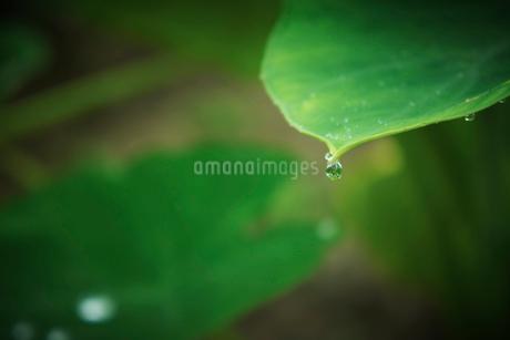 サトイモの葉と水滴の写真素材 [FYI02052195]