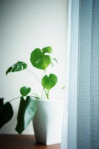 モンステラの鉢植えとカーテンの写真素材 [FYI02052232]