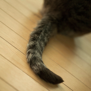 ネコの尻尾の写真素材 [FYI02052363]